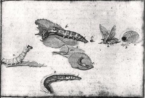disegno in bianco e nero raffigurante dei bachi da seta