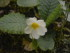 primula bianca