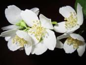 fiori di gelsomino
