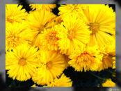 crisantemi gialli