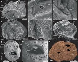 Un nuovo antenato: il più antico deuterostoma