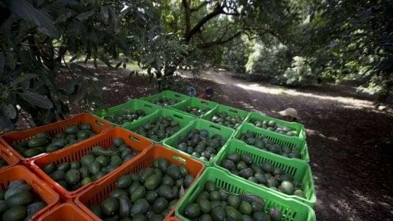 """Messico: A Tancitaro """"la  polizia dell'avocado"""" difende piantagioni e cittadini"""